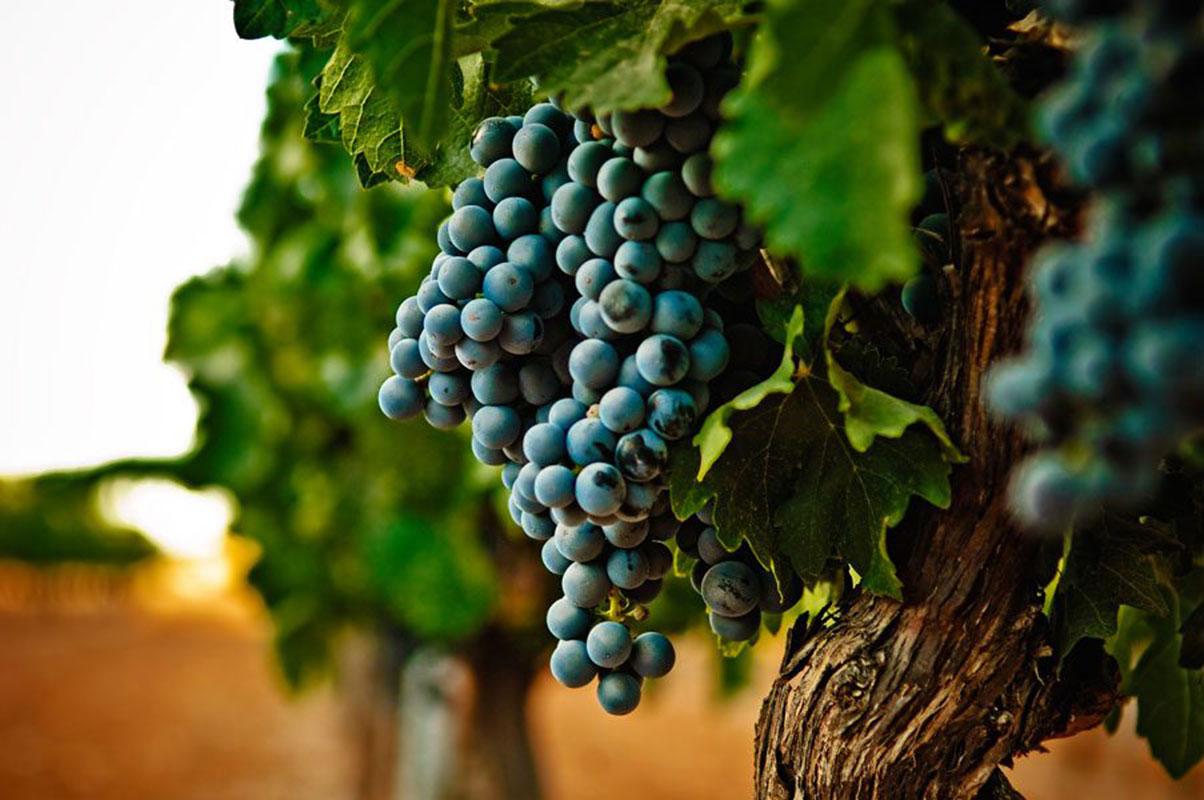 racimo uvas viñedos bodegas camino alto